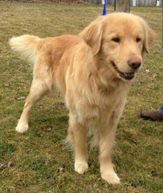 This is Kris - 1 yr. He is neutered, current on vaccinations, potty trained & good with dogs, cats & kids. Kris never received any training. He needs obedience class, structure, guidance, patience, time, attention, love & plenty of daily exercise. Golden Treasures Golden Retriever Rescue, Ohio. http://www.petfinder.com/petdetail/28772847/