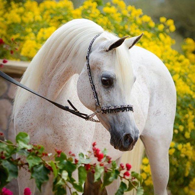 الخيل العربي On Instagram الخيل خيل خيول الخيول الخيول العربية الخيل العربية الخيول العربيه الخيل العر Beautiful Arabian Horses Beautiful Horses Show Horses
