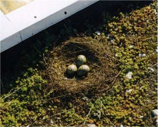 Providing a harmonious environment for nesting on our green roofs