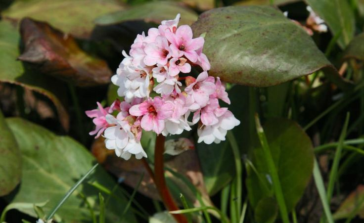 8 best Blumen images on Pinterest | Blumengarten, Clematis pflanzen ...