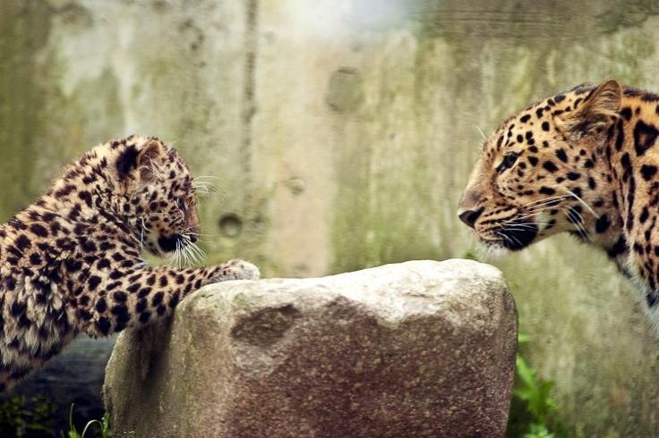 """Julio 11 de 2012 - """"Argoun"""" (izq.), un leopardo Amur de 3 meses con su madre """"Elixa"""" (der.), en el zoológico de Mulhouse (Francia). La población de leopardos Amur se estima de aproximadamente cincuenta en libertad, en todo el mundo. (AFP/VANGUARDIA LIBERAL)"""