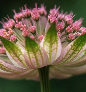 Astrantia major, common name great masterwort / Family Apiaceae.Species of flowering plant in the family Apiaceae, native to central and eastern Europe. Growing to 90 cm (35 in) tall by 45 cm (18 in) broad, it is an herbaceous perennial, much used in gardens.