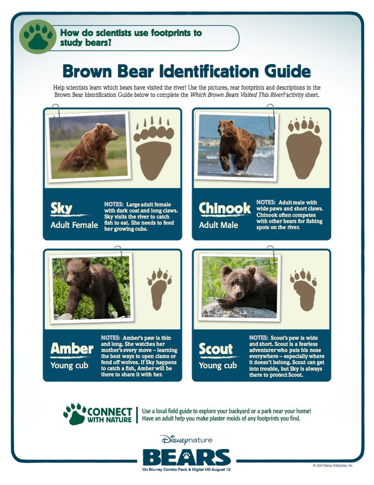 brown bear identification guide disneynature pinterest bears brown and brown bears. Black Bedroom Furniture Sets. Home Design Ideas
