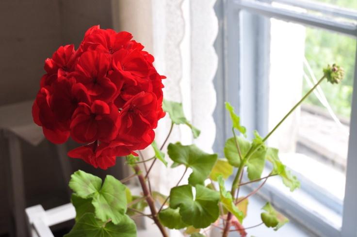 photos :: pelargonium.jpg picture by londonlove - Photobucket