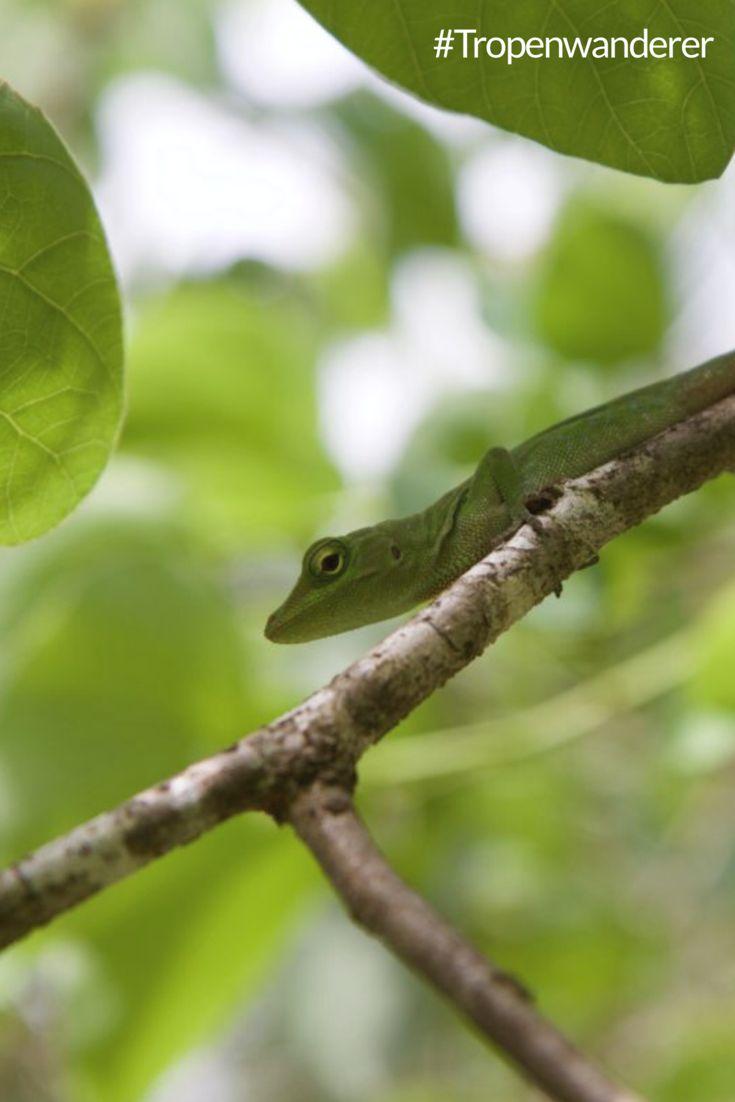 """Ein Nationalpark der Superlative - der Corcovado Nationalpark in Costa Rica. National Geographic ernannte ihn zum """"biologically most intense place on Earth"""". Erfahre mehr, hier bei uns. #CostaRica #PuraVida #Corcovado #Nationalpark #Biodiversität #Artenvielfalt #NationalGeographic #Reisen #Tropenwanderer"""