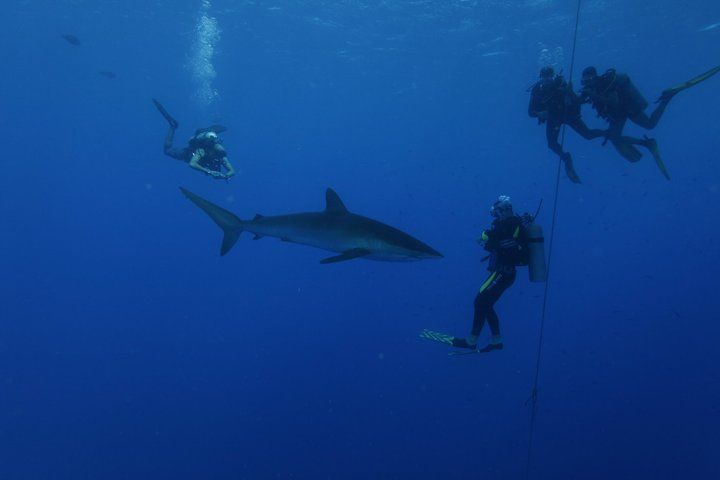 Silky shark under the boat at Daedalus Reef - June 2010@Red Sea