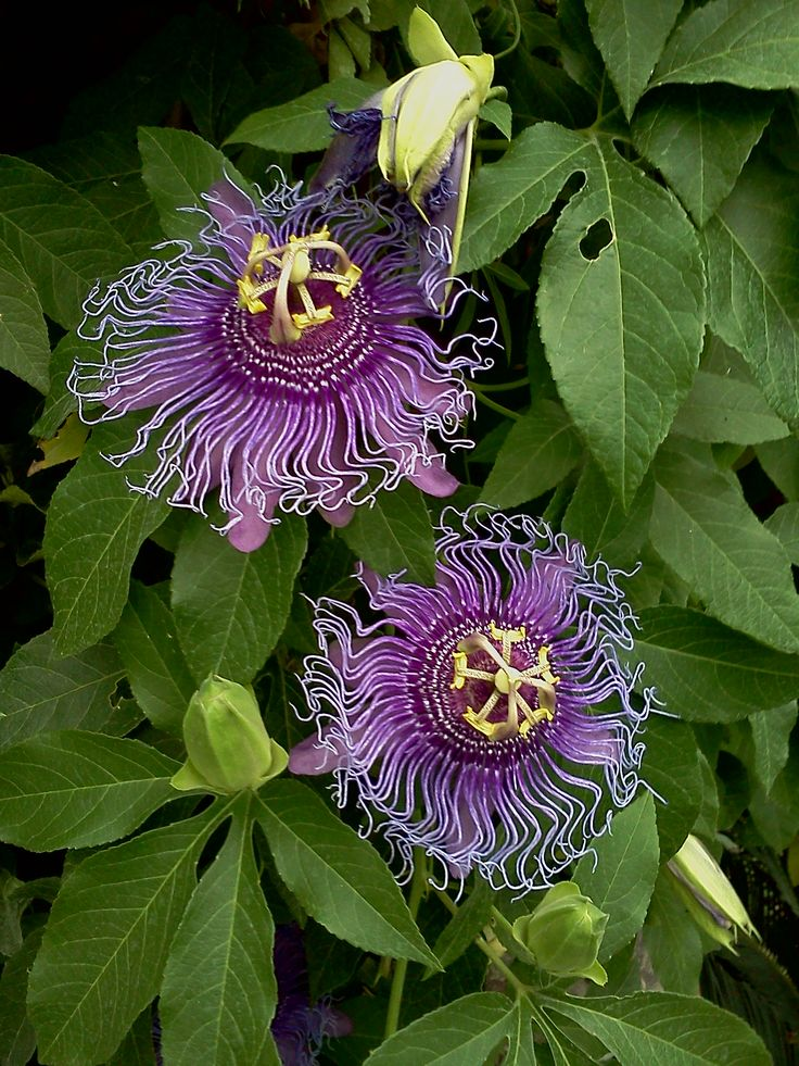 Passion flower -- plant on a trellis. Morning blooms, full sunlight .