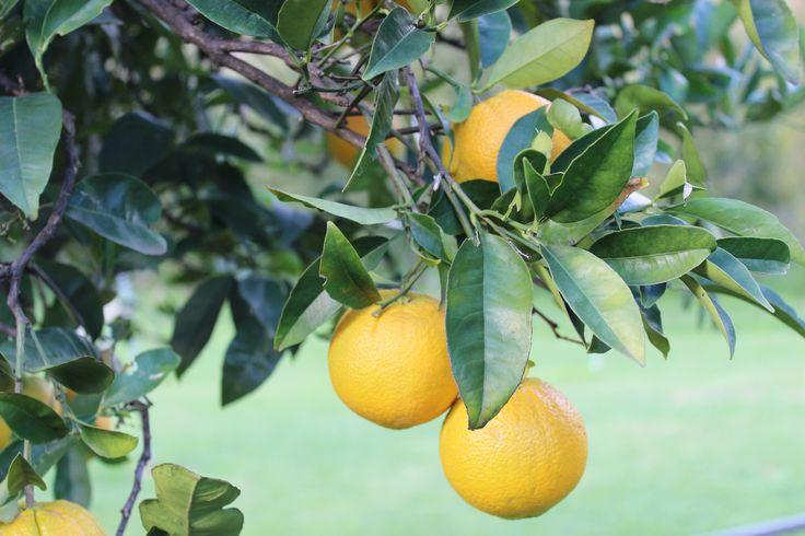 Orange Tree, Pickering Brook #orchard