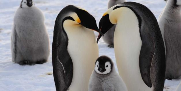 Two adults & a chick at the newly discovered 9,000-strong emperor penguin colony on Princess Ragnhild Coast, Antarctica, Dec., 2012 (© Alain Hubert/International Polar Foundation)