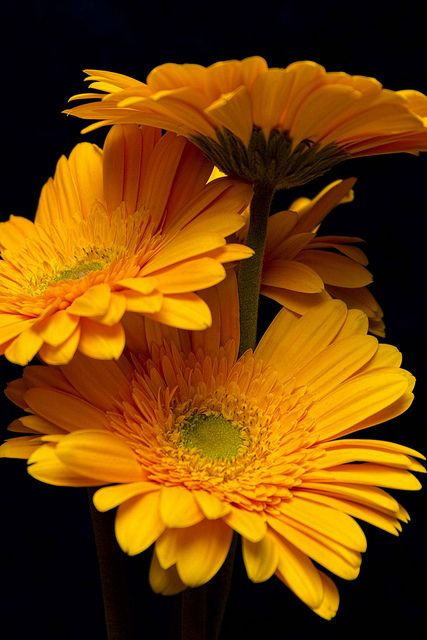 #Orange gerbera daisies #flowers #gerbera