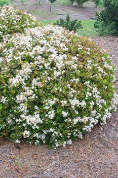 "Snow White Indian Hawthorn. ""Beautiful small evergreen shrub. Clusters of white flowers in early summer. Vigorous growth with excellent branching to create a full uniform shrub. Sun to partial shade."""