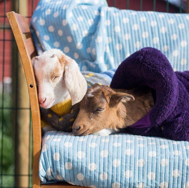 En las primeras tardes de primavera en el santuario todavía se siente la presencia del invierno en el frío de las tardes. Empieza a caer el sol y los bebés saben que es hora de descansar.  Por eso Emma y Gabriel buscan un lugar cómodo y se ponen el uno al lado del otro. Son más que amigos son compañeros de vida y no pueden estar más felices de tenerse de juntar sus corazones y sentirse cerca  - - #friends #friendsnotfood #bestfriends #bff #friendsforever #animalfriends #kid #kids #childhood…