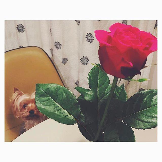 🎬 美女と野獣 素敵でした…🌹✨ ・ うちの美女🐶 ゴハンの前とか ・ 興奮すると 野獣のように なります(笑) ・ 一人二役👏 ・ ・ #美女と野獣 #映画鑑賞 #泣けた  #赤い薔薇 #花のある暮らし  #花と犬 #愛犬 #Booちゃん  #ヨーキー #ヨークシャーテリア  #beautyandthebeast  #movie #redrose  #flower #flowerstagram  #yorkie #yorkshireterrier  #doglover #dogstagram