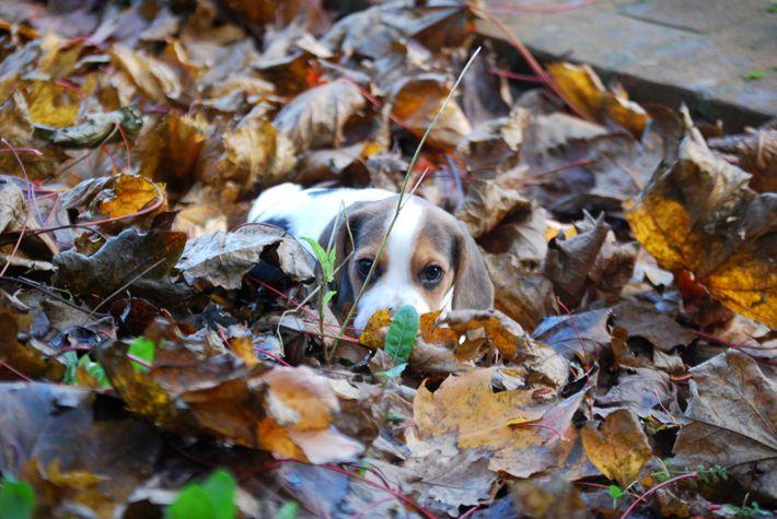 #beagle #minibeagle #poketbeagle #beaglepuppy #beaglepuppies #autumn