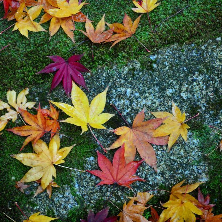Yellow, red, orange.... I love autumn colors.  #紅葉#京都#京都観光#大徳寺#koyo#momiji#red#moss#temple#daitokuji#kotoin#zen#zengarden#redleaves#autumn#autumncolors#Japan#instagramjapan#travelJapan#Japantrip#IloveJapan#travellover#travellovers#travle#traveling#traveler#myadventure#explorejapan#JapanAdventure#JapanAdventures