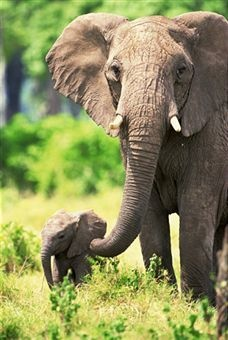 Did you know that an elephant's gestation period is 22 months, umm that's almost 2 years.