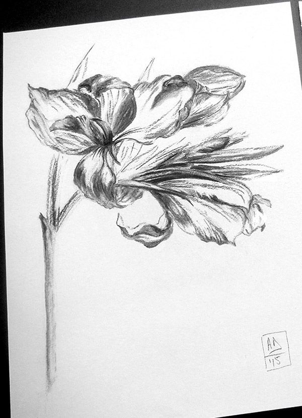 Canna flower no.1 by Alina Draguceanu. Life drawing - charcoal on paper. Desen în cărbune.