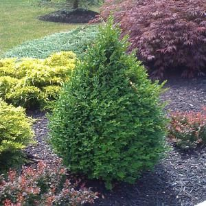 2 gal. Pyramidal Green Mountain Boxwood Shrub-B00408 at The Home Depot 1 for the end $40