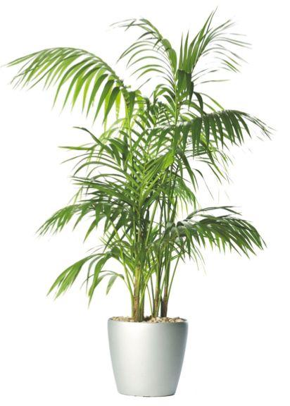 Kentia Palm Tree With Planter Hire Supazaar Jungle