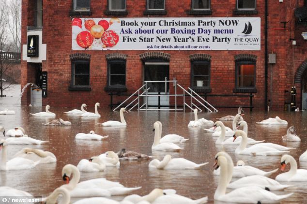 New paddling ground: Swans floating above streets and walkways by the River Severn. The River Severn in Worcester has burst its banks in some areas and is coming close to breaching the banks in others