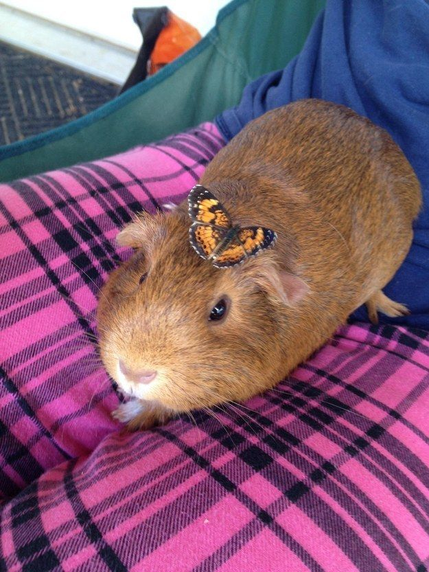 This friendly little guinea pig who has her very own butterfly. | 21 Incredibly Adorable Animals With Their Best Friends