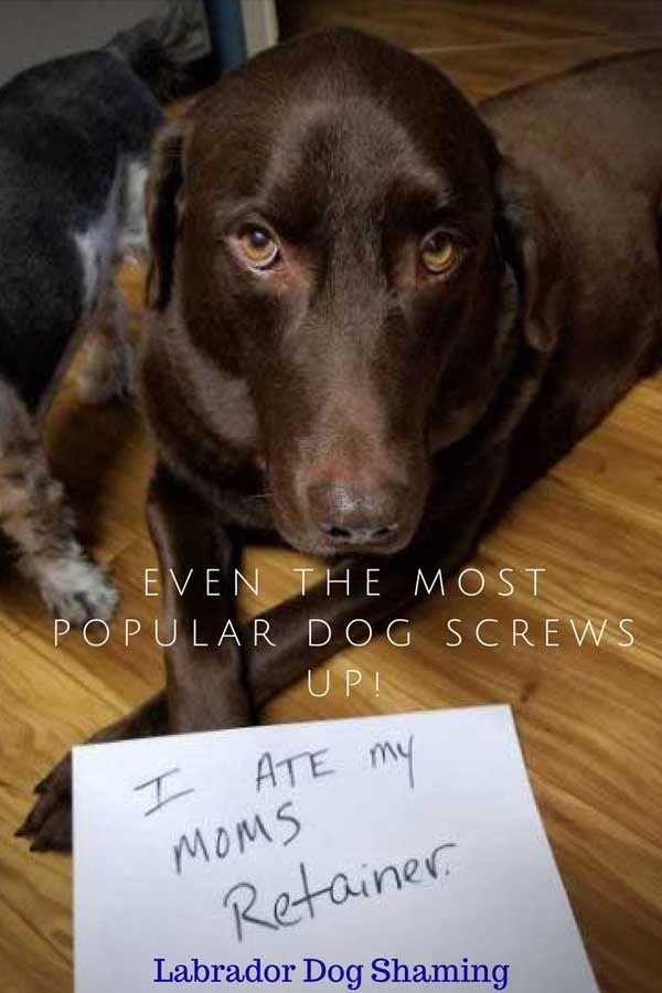 Labrador Dogs Funny Shaming Dog Shaming Dog Shaming Pictures