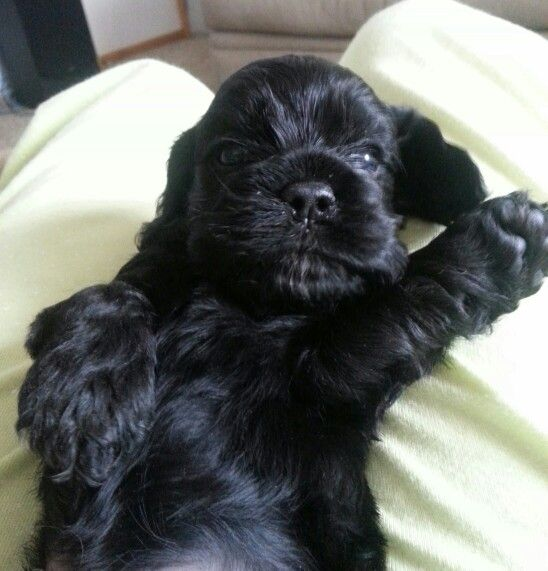 Black cocker puppy