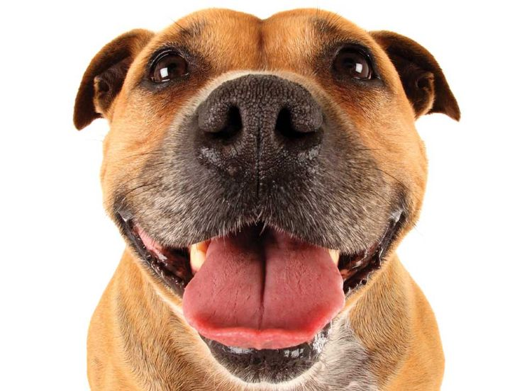 Les dents de chien