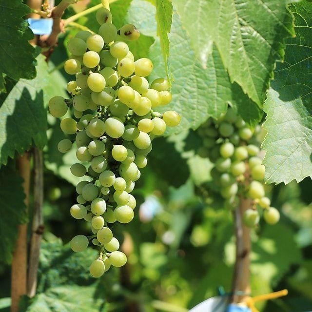 #Piante #Vite da Vino Falanghina - Spedizione Gratuita da €50 via @europlantsvivai