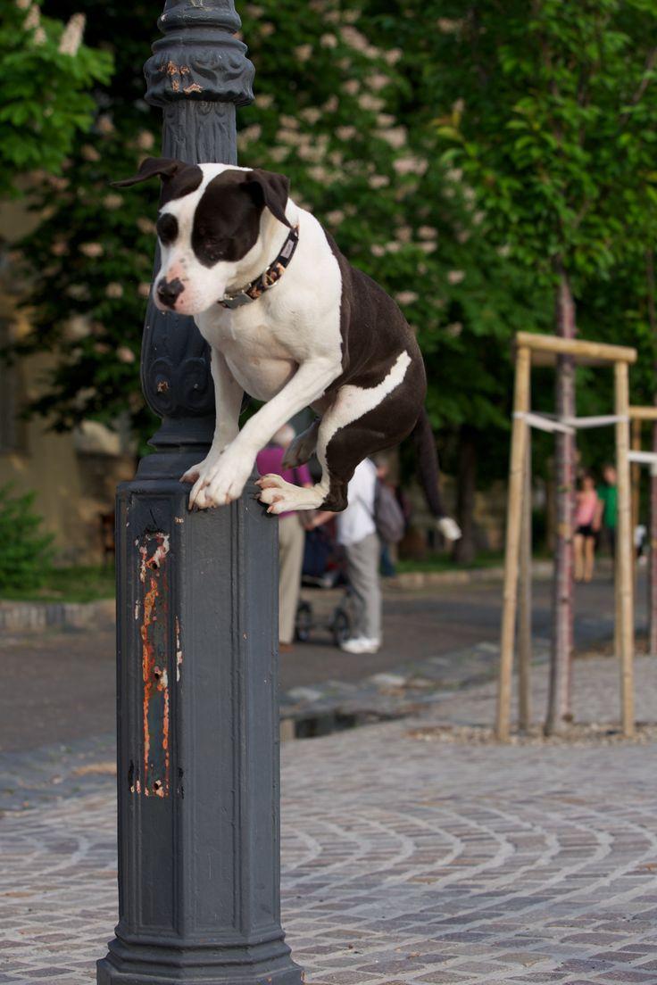 Dog Parkour/amstaff Viki