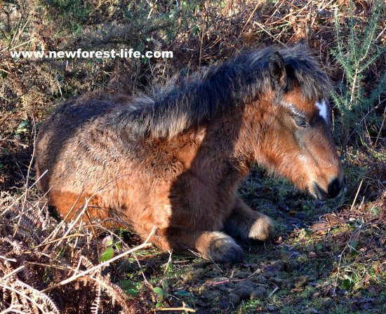 New Forest foal sunbathing in the January heather and gorse. She was so well camouflaged I nearly tripped over her!