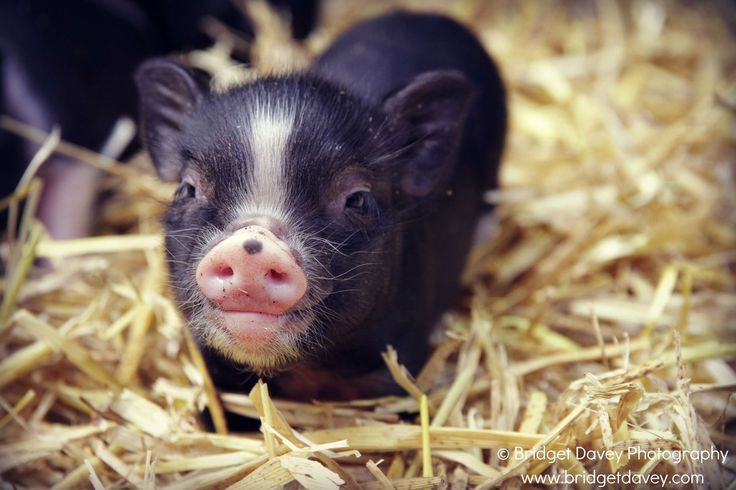 Micro Mini Pigs as Pets | ... Bridget Davey captures the beauty of micro pigs at Petpiggies