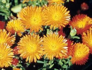Fanta-orange Lampranthus aureus