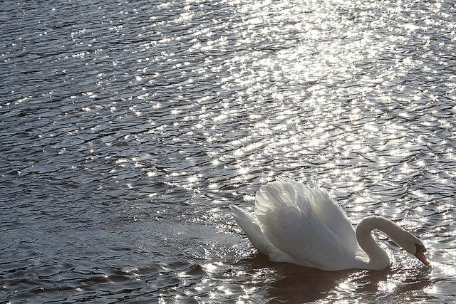 Swan, sea