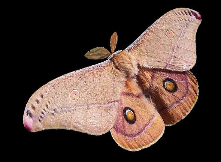 Emperor Gum Moth