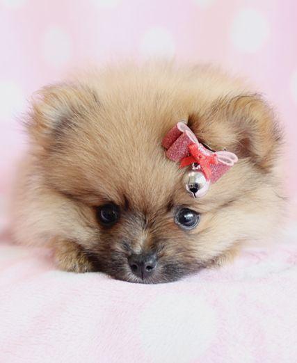 1000+ ideas about Teacup Pomeranian Puppy on Pinterest ...