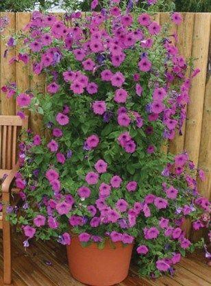 Petunia - Tickled Pink                                                       …