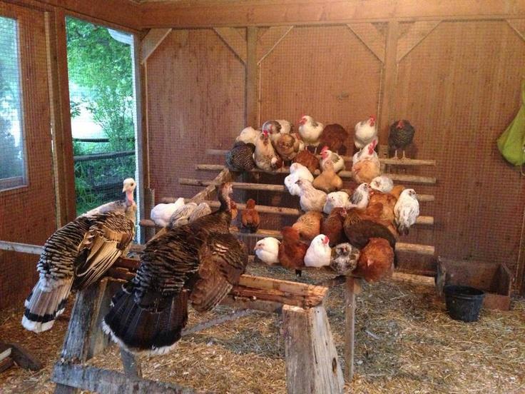 Chicken choir!!