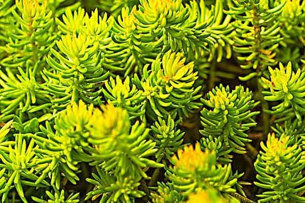 Angelina stonecrop (Sedum rupestre) grows well in zones 6–9. | Photo: Susan Roth | thisoldhouse.com
