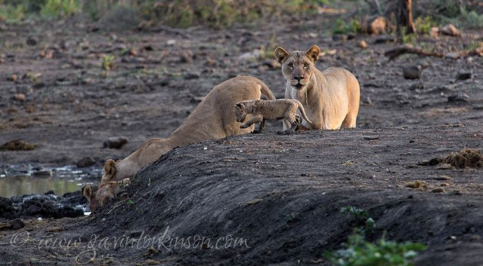 Matlapa and cubs, more Lion cubs in the park!! Photo Credit: Gavin Tonkinson