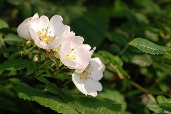 British Wild Flower - Dog Rose, Rosa canina Photo credit: D. Allison.
