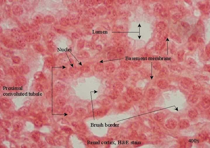 Simple Cuboidal Epithelium (Kidney) | anatomy | Pinterest ...