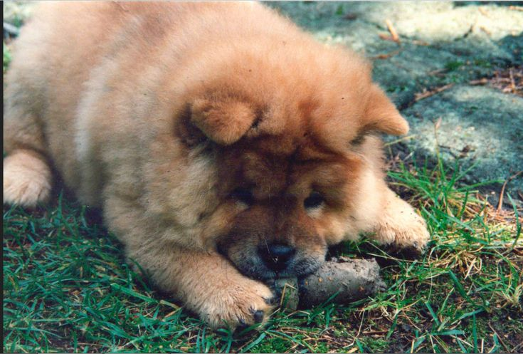Gestation Period of Dogs – Know About Dog Pregnancy
