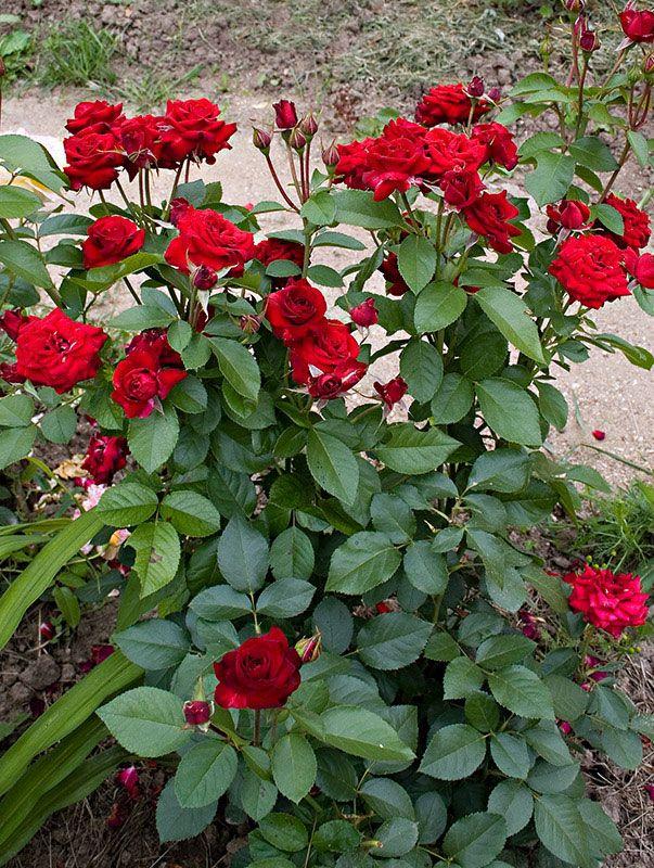 Про розы.... Обсуждение на LiveInternet - Российский Сервис Онлайн-Дневников