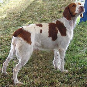 A Brittany dog is my dream pet!   Crazy about them.