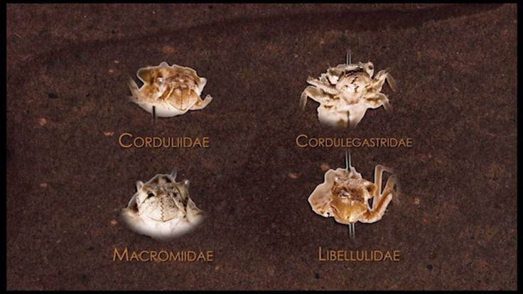 Identifying dragonfly larva to family can be challenging. This short video focuses your attention on the key body parts to use to recognize the different families.