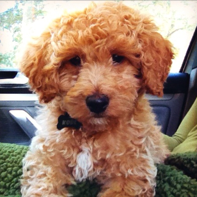 My sweet new baby- Kobe. A mini golden doodle :)   Dogs ...