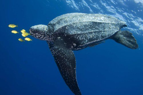 Leatherback Sea Turtles are the largest turtles on Earth, growing up to seven feet (two meters) long and exceeding 2,000 pounds (900 kilograms). #WorldTurtleDay