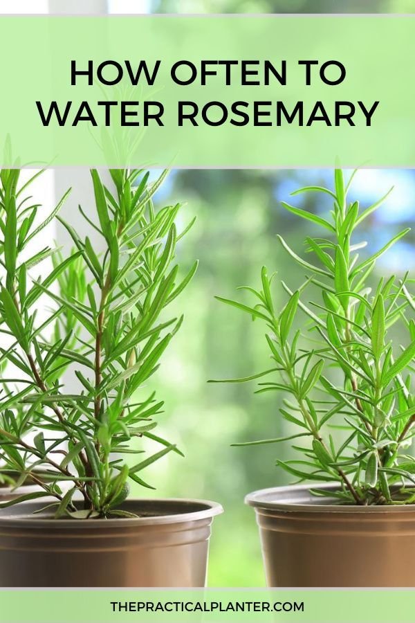 How Often To Water Rosemary In The Ground Or In Containers Rosemary Plant Growing Rosemary Rosemary