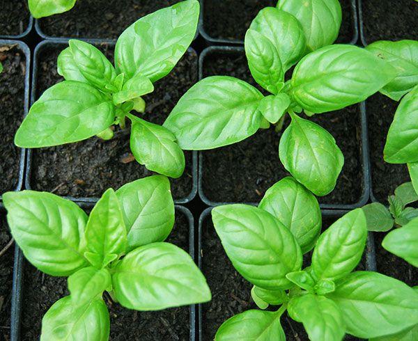 Como plantar e cuidar de manjericão